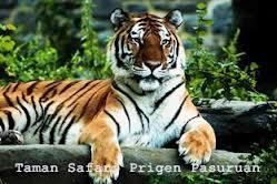 Paket Wisata Bromo Taman Safari Prigen Tour 2 Hari 1 Malam